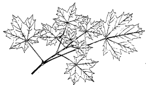 black n white maple leaf clipart