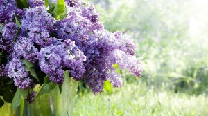 lilac tree image